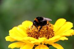 Néctar de la bebida del abejorro de la abeja en las flores Foto de archivo libre de regalías