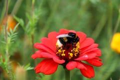 Néctar de la bebida del abejorro de la abeja en las flores Foto de archivo
