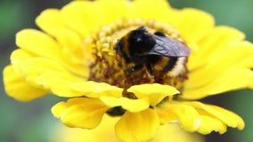 Néctar de la bebida del abejorro de la abeja en las flores metrajes