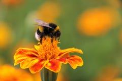 Néctar de la bebida del abejorro en la flor de los tagetes Imagen de archivo