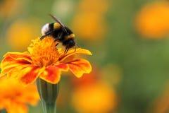 Néctar de la bebida del abejorro en la flor de los tagetes Fotos de archivo