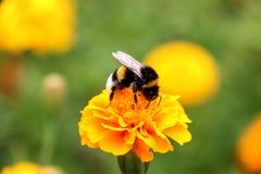 Néctar de la bebida del abejorro en la flor de los tagetes Foto de archivo libre de regalías