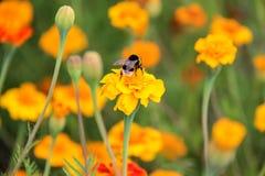 Néctar de la bebida del abejorro en la flor de los tagetes Fotografía de archivo