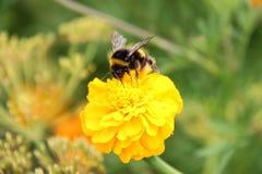 Néctar de la bebida del abejorro en la flor de los tagetes Imágenes de archivo libres de regalías