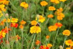 Néctar de la bebida del abejorro en la flor de los tagetes Fotografía de archivo libre de regalías