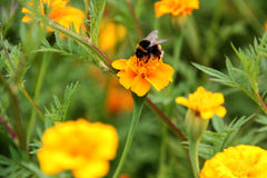Néctar de la bebida del abejorro en la flor de los tagetes Imagen de archivo libre de regalías