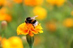 Néctar de la bebida del abejorro en la flor de los tagetes Imagenes de archivo