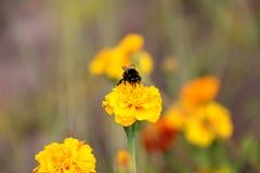 Néctar de la bebida del abejorro en la flor de los tagetes Foto de archivo