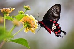 Néctar del frunce de la mariposa de Swallowtail Fotos de archivo libres de regalías
