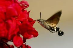 Néctar del geranio de la Halcón-polilla del colibrí Fotos de archivo libres de regalías