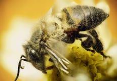 Néctar del sorbo de la abeja de trabajador en la flor amarilla Imagen de archivo libre de regalías