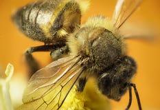 Néctar del sorbo de la abeja de trabajador en la flor amarilla, en fondo caliente Imagen de archivo libre de regalías