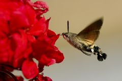 Néctar do gerânio da Falcão-traça do colibri fotos de stock royalty free