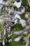 Néctar doce da glicínia dos embibes do zangão fotografia de stock royalty free