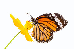Néctar que busca de la mariposa de monarca en una flor Imagen de archivo