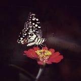 Néctar que busca de la mariposa de monarca en una flor Imágenes de archivo libres de regalías