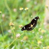 Néctar que busca de la mariposa en la flor Foto de archivo libre de regalías