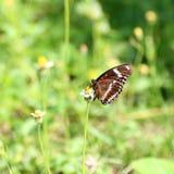 Néctar que busca de la mariposa en la flor Fotografía de archivo libre de regalías