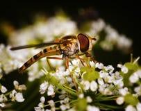 Néctar que come la mosca de la flor Fotos de archivo libres de regalías