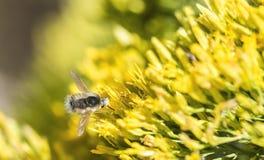 Néctar que sorbe de la mosca de abeja (anastoechus) Imagenes de archivo