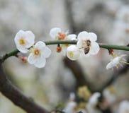 Néctar recogido abeja de la flor Fotografía de archivo