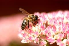 Néctar steeling de la abeja Imagen de archivo libre de regalías