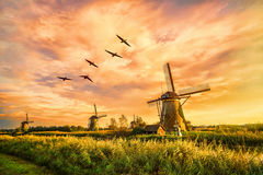 Néerlandais géant chaud image libre de droits