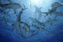 Négaprion brevirostris/GROUP OF LEMON SHARK Stock Photos
