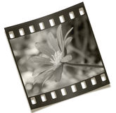 Négatif de fleur de Filmstrip Image stock