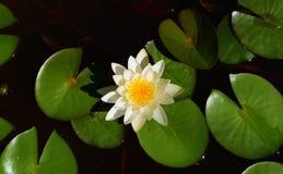 Nénuphar avec la fleur blanche Photographie stock libre de droits