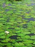 Nénuphar blanc avec des feuilles Image libre de droits