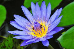 Nénuphar bleu. Image stock