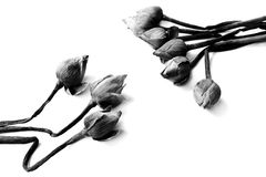 Nénuphar défraîchi, fleurs de lotus sur le backgrou noir et blanc Photographie stock