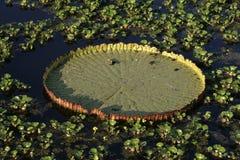 Nénuphar d'Amazone de géant, amazonica de Victoria photographie stock libre de droits