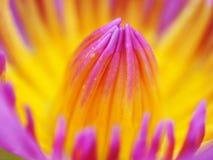Nénuphar de fleur image libre de droits