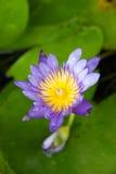 Nénuphar de floraison de jour pourpre parmi de belles protections de lis vertes Images stock