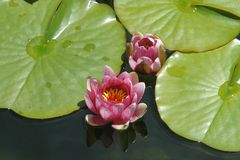Nénuphar, fleurs dans un étang, plantes aquatiques image libre de droits