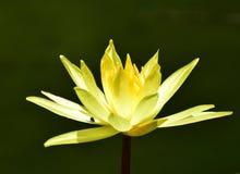 Nénuphar jaune Image libre de droits