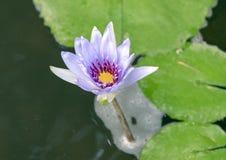 Nénuphar mauve-clair fleurissant dans un étang à Dallas, le Texas photographie stock