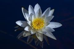 Nénuphar reflété dans l'eau bleue photos stock