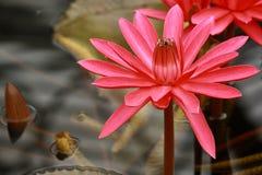 Nénuphar rouge de floraison Photographie stock libre de droits