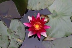 Nénuphar rouge flottant sur un étang Photographie stock