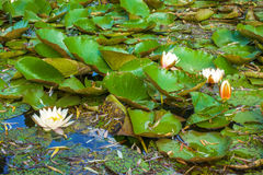 Nénuphar sur le lac Photo libre de droits