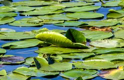 Nénuphar sur le lac Skadar photographie stock libre de droits