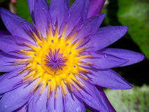 Nénuphar violet Image stock