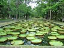 Nénuphares at Mauritius Grapefruit parc Royalty Free Stock Image
