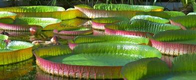 Nénuphars énormes dans le jardin images stock