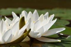 Nénuphars blancs avec les pétales verts photos stock