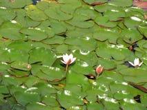 Nénuphars blancs et roses dans un étang Photos stock