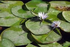 Nénuphars dans l'étang Image stock